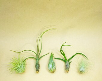 Group of 5 Assorted Tillandsias // Small Air Plants // Hello Tilly Airplants