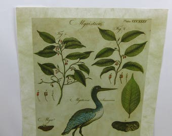The Sommers Collection, Bird Botanical Print with Shells and Figs. Artwork. Print from an Antique Book. Green, Cream and Aqua