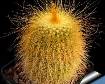 Parodia leninghausii / 10 seeds (Golden Ball, Lemon Ball)