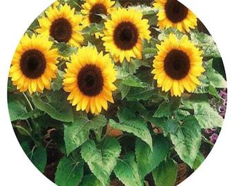 300Pcs A Set Dwarf Sunflower Seeds prodgf hidgf whydgf kaolal weibog kfsee ngryise dwarfgiantfarm studio