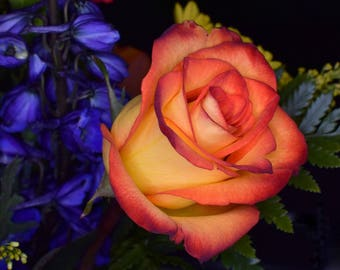 Download picture of Rose