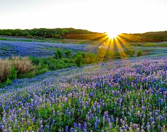 "Fine Art Photograph, ""Texas Bluebonnets at Sunset"" Fine Art Photograph on premium Fuji Pearl paper, or as an Archival Giclee' Print"