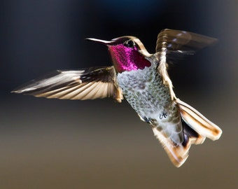 Flying Anna's Hummingbird - 12x18 16x24 20x30 24x36 Metal Print - Nature Photography - Modern Art Wall Art - Bird in Flight -