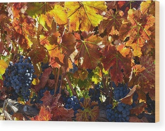 Fiery Fall Leaves Print on Wood, Grapes in the Vineyards in Shendanoah Valley, CA, Yellow Red Leaves, Rustic Decor Nature Photo Art - 7 x 10