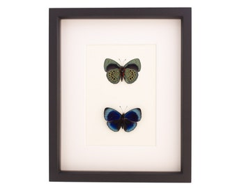 Real Butterfly Collection, Charles Darwin Butterfly Wall Display