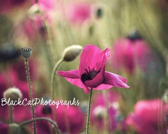 Pink Romantic Flower Wall Art Flower Photography for Her Poppy Photo Pink Decor Flower Photo Print Feminine Wall Decor Spring Floral Art