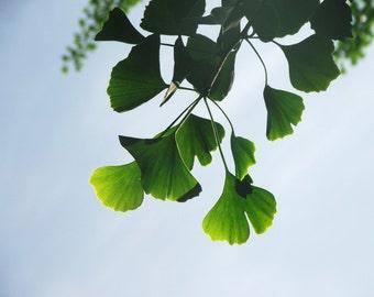 Ginkgo Leaves Photograph Bright Green Nature Gingko Summer Colors Home Decor 10x8 Print Gingko II...