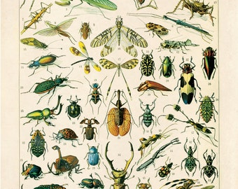 Insectes diagramme Vintage Reproduction Print. Variété d'insectes éducation graphique par Adolphe Millot Science entomologie Bugs. CP255