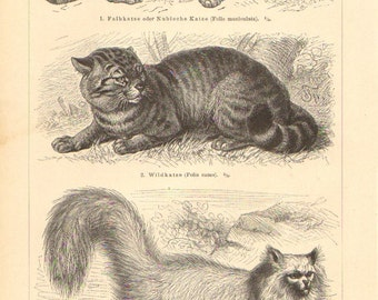 1896 Domestic Cats, Egyptian Cat, Housecat, Domestic Longhaired Cat Original Antique Engraving to Frame