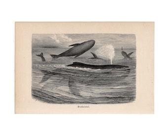 c. 1914 WHALES ANTIQUE LITHOGRAPH - original antique print - sea life ocean marine mammals - orca baleen sperm narwal dolphin blue whale