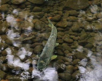 Rainforest Salmon Photo Print - Fly Fishing Photography, Fly Fishing Art, Pacific Northwest