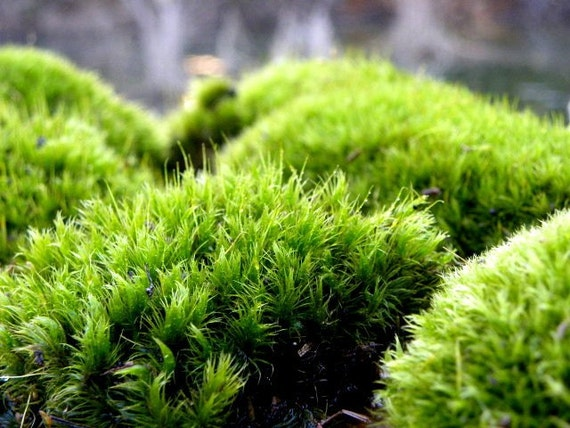 High Quality Terrarium Moss Frog Moss Live Moss For Terrariums And Vivariums Quart Bag  From TeresasPlants On Etsy Studio
