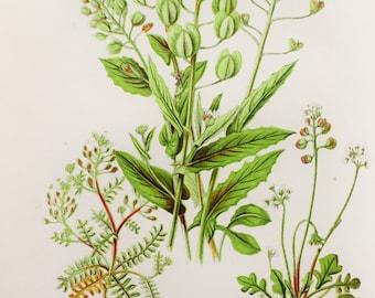 Anne Pratt Antique Botanical Print -  Penny Cress, Shepherd's Purse, Hutchinsia, Teesdalia, Wild Flowers (15)