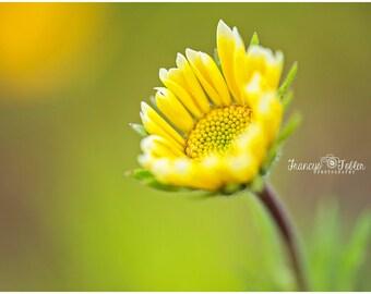 Spring Yellow Daisy Flower Fine Art Canvas wrap- macro
