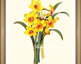 "Botanical Print. Daffodils. Spring Flowers. Narcissus. Easter Decor. Daffodil Print. 5x7"", 8x10"" 11x14"", 13x19""."
