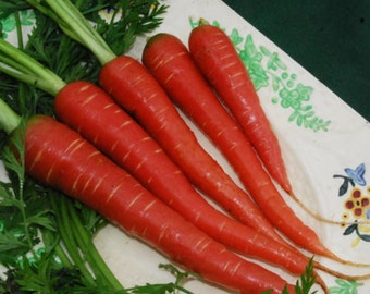 Carrot Seeds- Atomic Red- 200+ Seeds