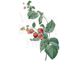 Raspberry Clipart, Raspberries Digital Download Vintage Graphic for Crafts, scrapbook, Card making, collage, prints Digital Download - 1296