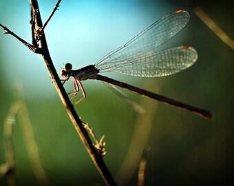 Dragonfly Photograph, Blue Green Nature Photography, Horizontal Wall Art, Summertime Fine Art Nature Photo Print, Damsel Fly Photograph