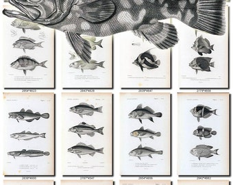 FISHES-40-bw Collection of 186 vintage images Trout Perch Bream Carp Eel pictures High resolution digital download printable water animals