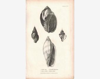 Sea Shell Mollusca Antique cuvier Print 1834 Pl 30