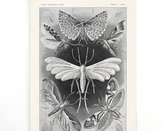 Haeckel Pull Down Chart - Moths and butterflies Reproduction Print wall hanging. Tineida Vintage German Science Insects Diagram -CP270CV