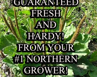 Plantain Major-Non-GMO Organic Heirloom Herb Seed