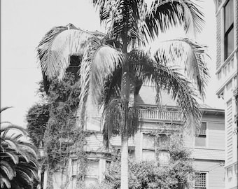 Poster, Many Sizes Available; Christmas Palm In Front Of A House, Los Angeles, Ca.1920 (Chs-5059)