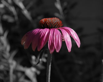 Purple Coneflower, Digital Art Print