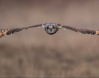 Short Eared Owl Picture
