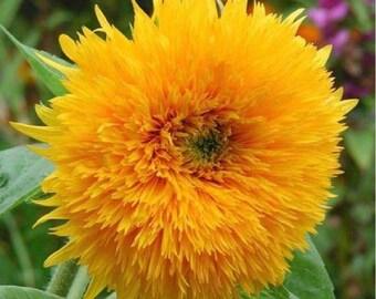 Sunflower Seeds 'ORANGE SUN' Rare Flower Seeds 8 feet tall (20 seeds)