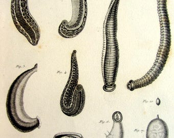 1852 Vintage annelids engraving, antique worms print, zoology invertebrates plate, worm earthworm leech parasitic illustration.