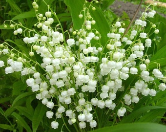 WHITE LILY Of The VALLEY-30 Plants Pips/Corms