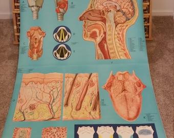 Vintage Anatomy Charts