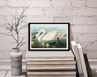 Swan art print,vintage bird page,antique bird prints,,digital swan print,bird illustrations,wall art,swan illustration