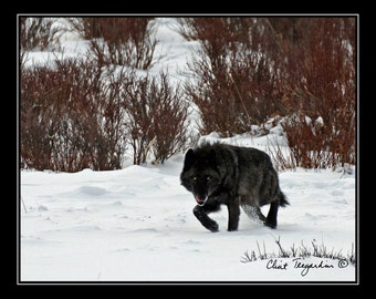 Black Wolf, Nature Photography
