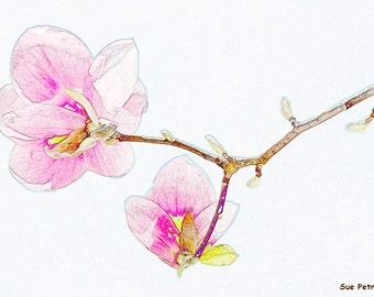 Photographic Art, Magnolia Blossoms, Digitally Enhanced Photo, Pencil Drawing, Pink, Floral Art, Flower Art, Flower Prints, Nature Photos