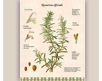 Rosemary art,Kitchen art,Cooking Herb print,Rosemary digital herbarium sheet,botanicals, educational poster, Food decor,dining room decor