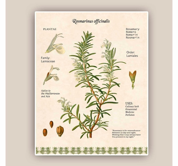 Kitchen Herbarium Art: Rosemary ArtKitchen ArtCooking Herb PrintRosemary Digital