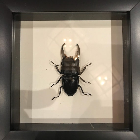 Real taxidermy dorcus beetle display!