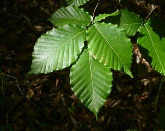 American Beech   Fagus grandifolia   50 Fresh Seeds