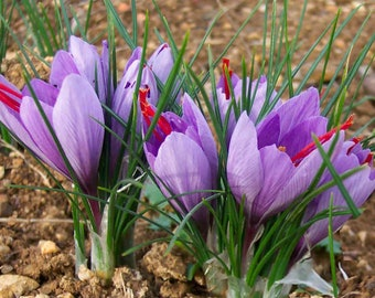 40pcs Saffron Bulbs Crocus Sativus Small Size Bulbs Fall Blooming *Grow Your Own Safron* (US ONLY)