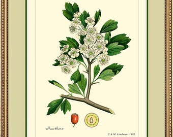 HAWTHORN -  Vintage Botanical print reproduction  286