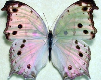 ONE Real Butterfly African Salamis Parhassus Mother of Pearl Opal