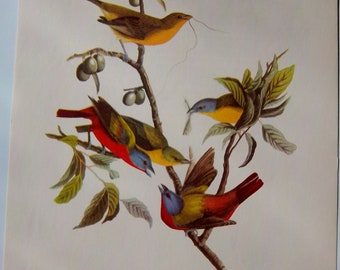 vintage 9x12  Audubon -- PAINTED BUNTING -- lithograph print very good condition American Bird