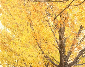 yellow decor fall photography yellow leaves autumn decor fall decor nature photography fine art tree photograph
