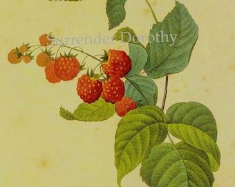 Raspberry Framboisier Rabus Idaeus Redoute Vintage Fruit Botanical Lithograph Print To Frame 141