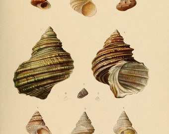 Vintage Seashell Illustration Print , c. 1869,  Museum quality, Giclee Art Print, Wall Art, Beach Print, Scientific Illustration