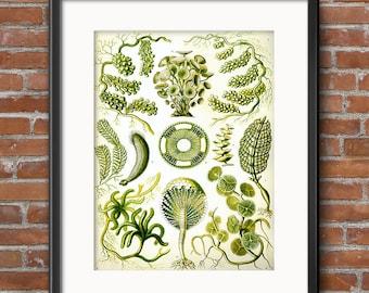 Ernst Haeckel Green Algae Siphoneae Caulerpa Scientific Illustration Art Print Art Nouveau Scientific Illustration Natural History Art 0376
