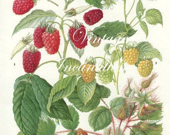 Vintage Botanical Print Antique RASPBERRIES, plant print botanical print, bookplate art print, berries fruit plants plant wall print