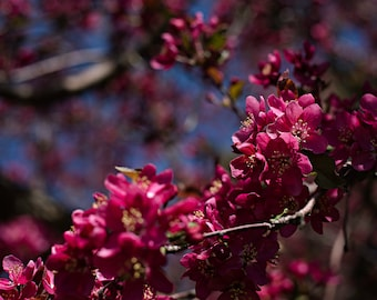 Crab Apple Blossoms 1 of 1